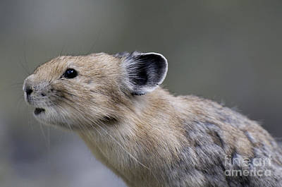 Pika Poster by William H. Mullins