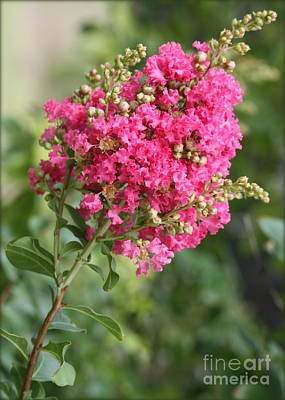 Pink Crepe Myrtle Flowers Poster by Carol Groenen