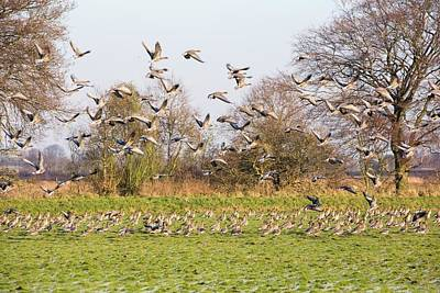 Pink Footed Geese (anser Brachyrhynchus) Poster