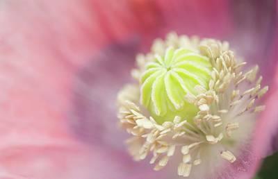 Pink Peony Poppy Poster by Maria Mosolova