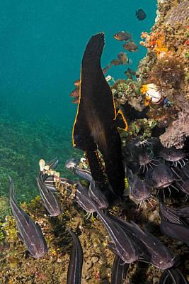 Pinnate Spadefish Poster
