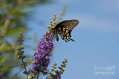 Pipevine Swallowtail Butterfly Poster by Richard and Ellen Thane