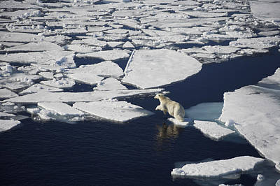 Polar Bear On Melting Sea Ice, High Poster by Paul Miles