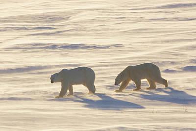 Polar Bears Ursus Maritimus Walking Poster by Panoramic Images