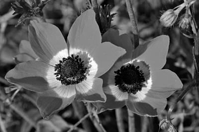 Poppy Anemones Poster by George Atsametakis