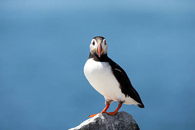 Portrait Of An Atlantic Puffin Poster by Robbie George