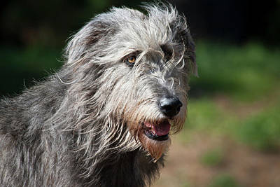Portrait Of An Irish Wolfhound Poster by Zandria Muench Beraldo