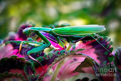 Praying Mantis Poster by Robert Bales