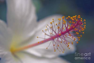 Pua Aloalo - Koki'o Ke'oke'o - Hibiscus Arnottianus - Hawaiian White Hibiscus  Poster by Sharon Mau