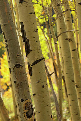 Quaking Aspen In Full Color Showing Poster