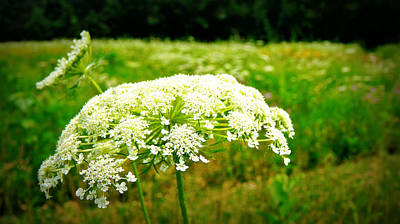 Queen Anne's Lace Poster by Carol Toepke