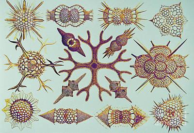 Radiolarians After Ernst Haeckel Poster