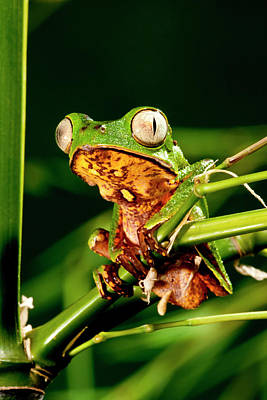 Razor Backed Monkey Frog Phyllomedusa Poster