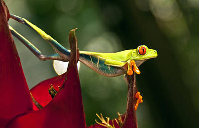 Poster featuring the photograph Red Eyed Tree Frog 1 by Jialin Nie Cox WorldViews