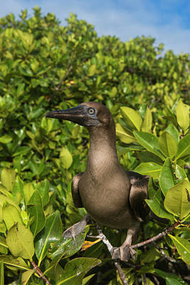 Red-footed Booby (sula Sula Websteri Poster by Pete Oxford