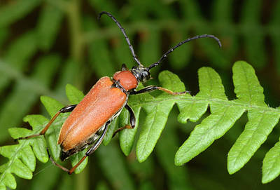 Red Longhorn Beetle Poster by Nigel Downer