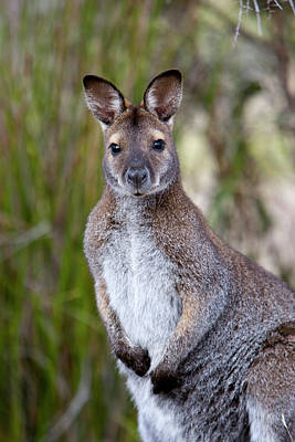 Red-necked Wallaby, Subspecies Poster by Martin Zwick