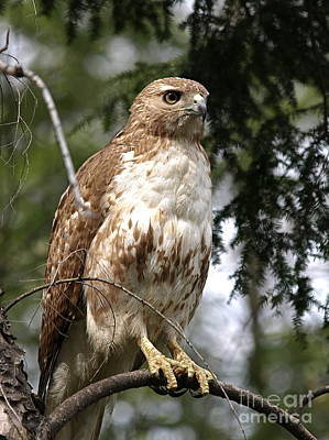 Red Tail Hawk 2 Poster