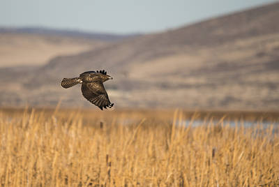 Red Tail Hawk In Flight Poster by Loree Johnson