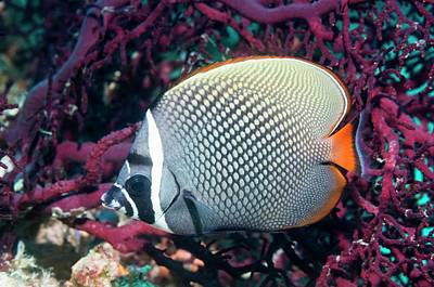 Redtail Butterflyfish On A Reef Poster