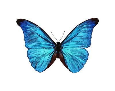 Rhetenor Blue Morpho Butterfly Poster by Science Photo Library