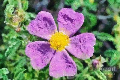 Rockrose Wild Flower Poster