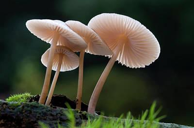 Rooting-bonnet-cap Fungus Poster by Nigel Downer