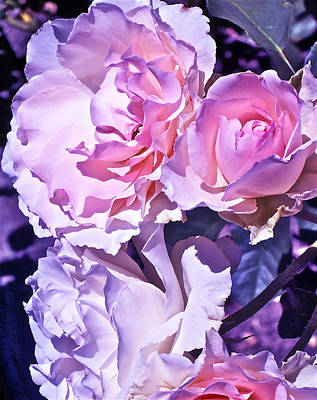 Rose 60 Poster by Pamela Cooper