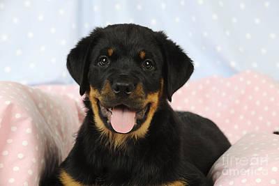 Rottweiler Puppy Dog Poster by John Daniels