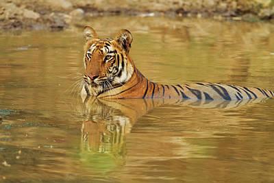 Royal Bengal Tiger At The Waterhole Poster