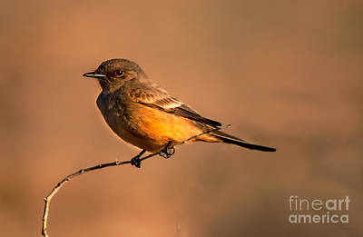 Say's Phoebe Poster by Robert Bales