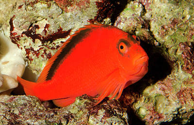 Scarlet Hawkfish Or Flame Hawkfish Poster by Nigel Downer