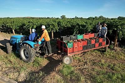 Seasonal Workers Harvesting Grapes Poster by Tony Camacho