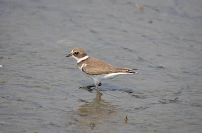 Poster featuring the photograph Semipalmated Plover by James Petersen