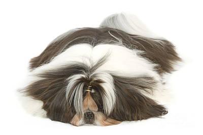 Shih-tzu With Bow Poster by Jean-Michel Labat