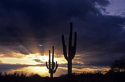 Silhouetted Saguaro Cactus Sunset At Dusk Arizona State Usa Poster