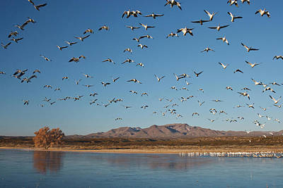Snow Geese (chen Caerulescens Poster by Larry Ditto