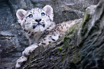 Snow Leopard Cub Poster by Chris Boulton