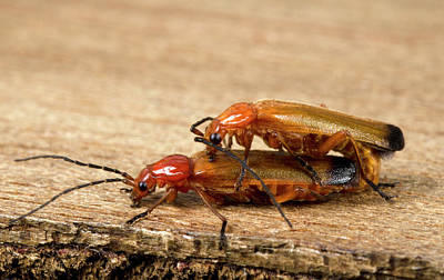 Soldier Beetles Mating Poster