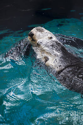 Southern Sea Otter Poster