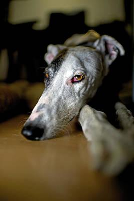 Spanish Greyhound Poster