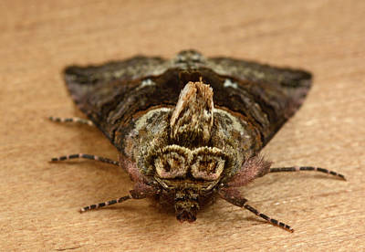 Spectacle Moth Poster