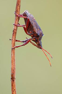 Spiny Shieldbug Poster by Heath Mcdonald