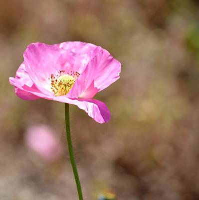 Spring Poppy Flower Poster