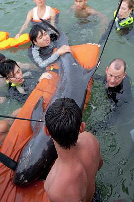 Stranded Pygmy Killerwhale Being Helped Poster