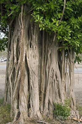 Strangler Fig Ficus Aurea Poster