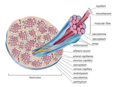 Structure Of Skeletal Muscle Poster by Asklepios Medical Atlas