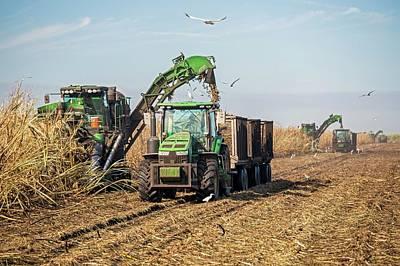 Sugar Cane Harvest Poster