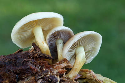 Sulphur Tuft Fungus Poster