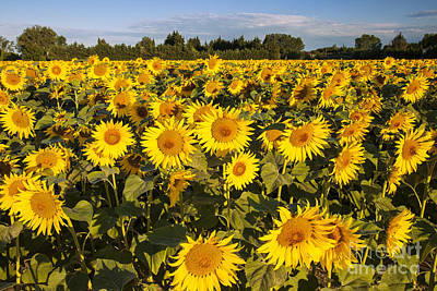 Sunflowers At Dawn Poster by Brian Jannsen
